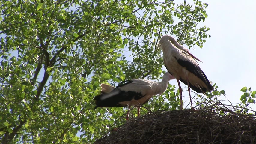 rachotit : Storks rumble with beaks in nest