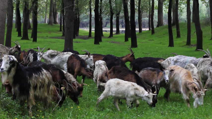bak : Goats graze in the woods by the river