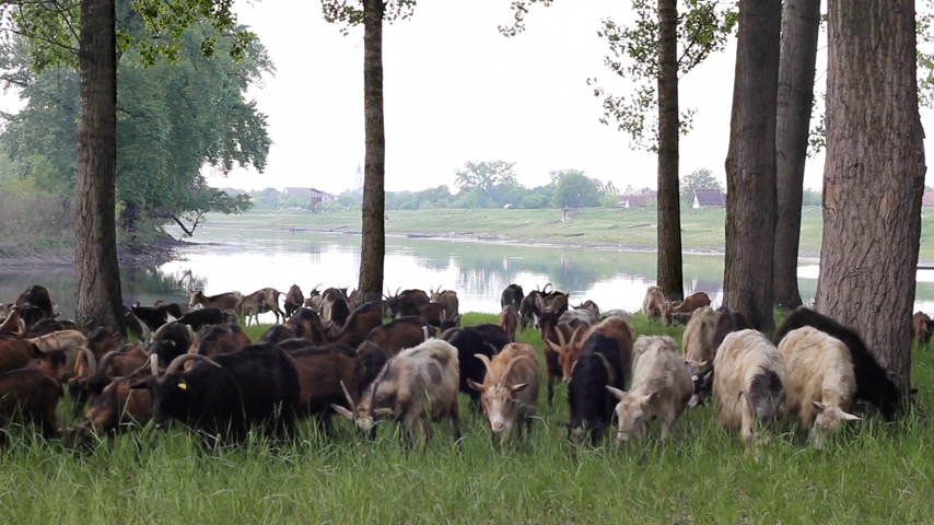 drove : Goats graze in the woods by the river