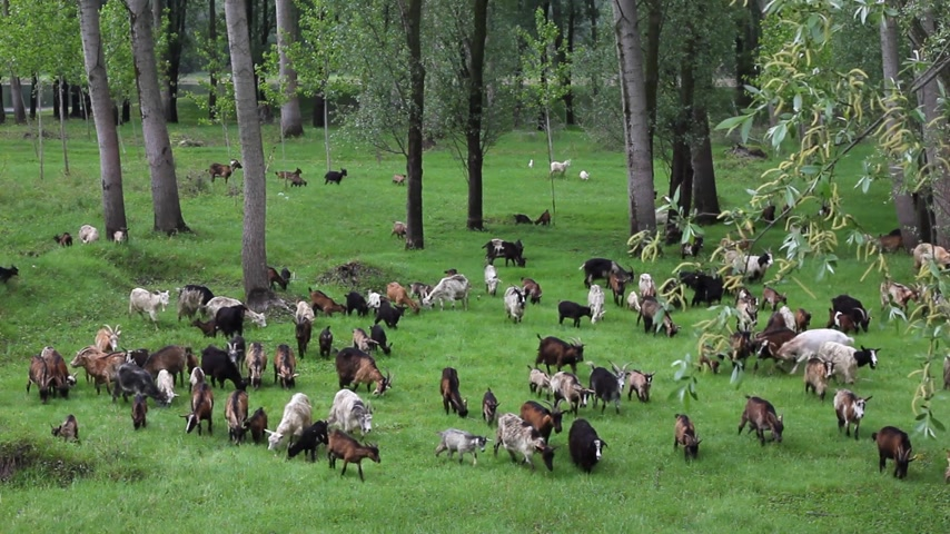 horned : Goats graze in the woods