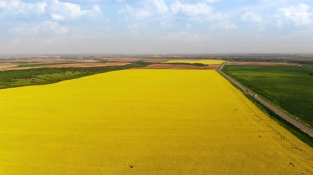 kolza tohumu : Aerial drone shot of beautiful yellow oil seed rape flowers in the field, countryside landscape