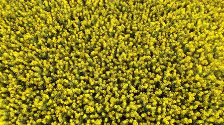 kolza tohumu : Aerial drone shot of beautiful yellow oil seed rape flowers in the field Stok Video