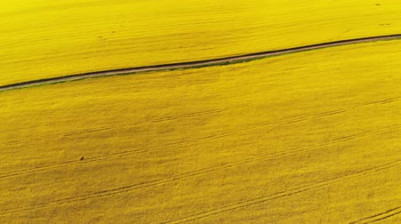 rape oil : Aerial drone shot of beautiful oil seed rape flowers in the field like yellow carpet