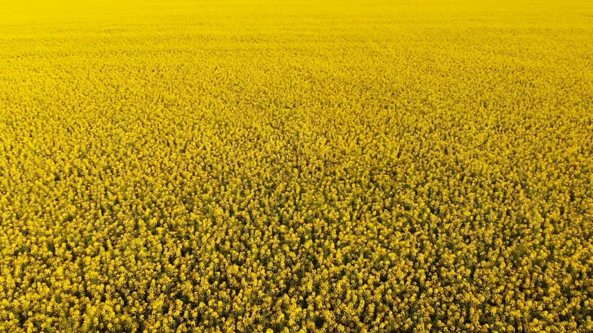 kolza tohumu : Aerial drone shot of beautiful oil seed rape flowers in the field like yellow carpet