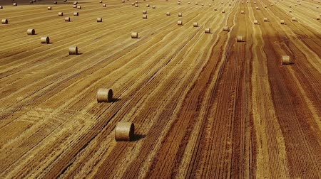 тюк : Flight over crop wheat rolls of straw in field. Drone shot after wheat harvested agriculture farm rural aerial 4k video background. Bread production concept.