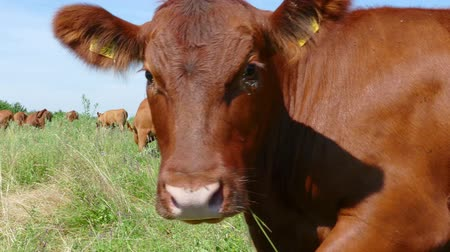 Vaches broutant au pâturage, coup de main