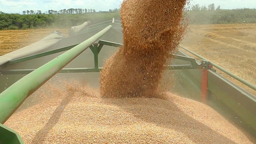 Combine harvester transferring freshly harvested wheat to tractor-trailer for transport, slow motion Stock mozgókép