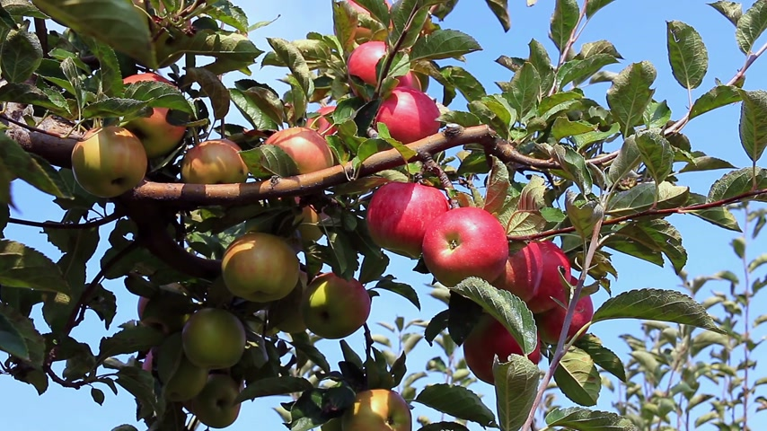 Farmer picks apples in orchard Wideo