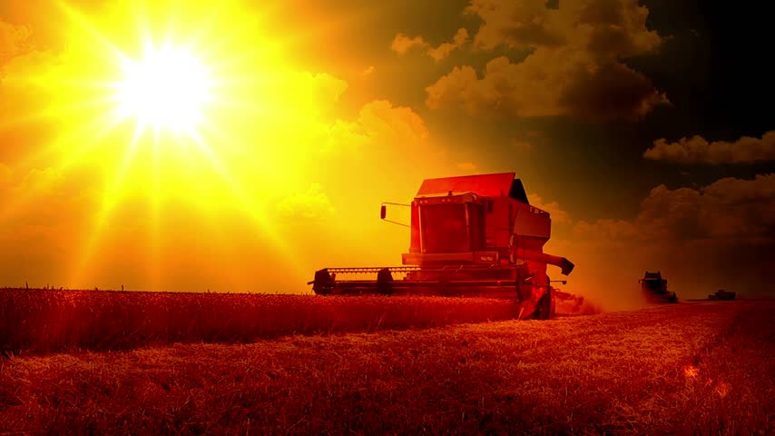 reaping : Combine harvesters working on the wheat field at sunset