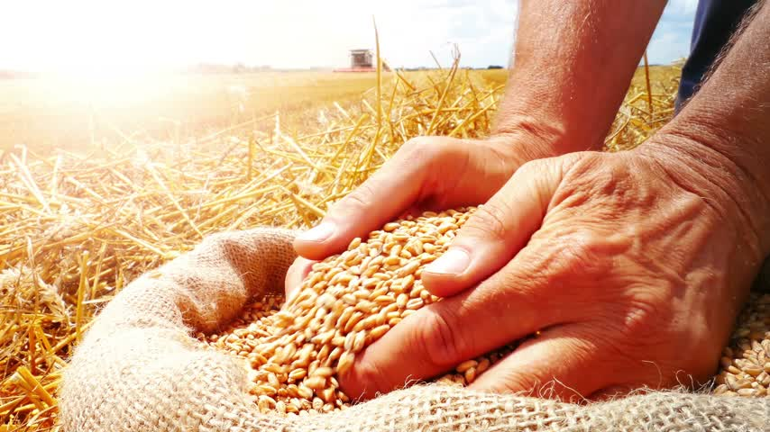 avuç : Harvest close-up of farmers hands holding wheat grains. Takes a lot of golden wheat grains from a sack, in a background agricultural machinery combine harvesters working on field, sunset light, flare light Stok Video