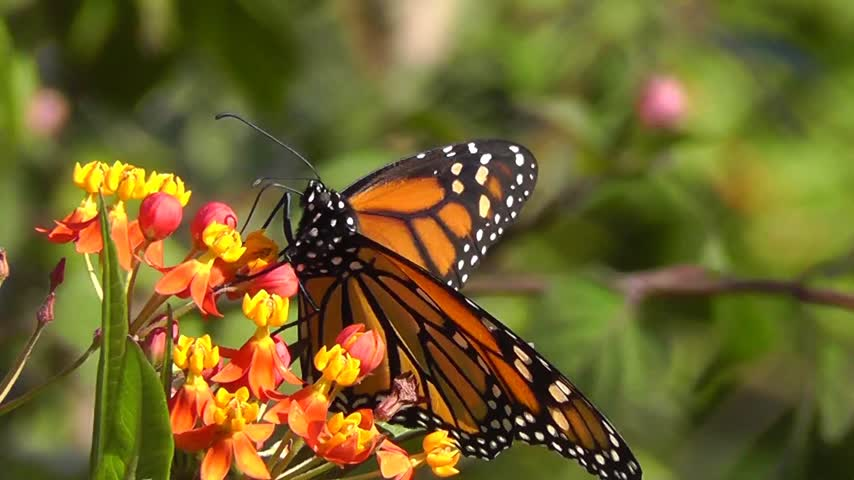 flower : Monarch Butterfly - macro