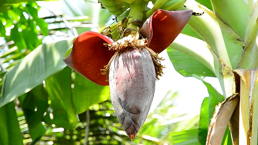 floresta tropical : banana flower and bees