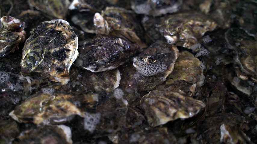 osztriga : Closeup of the fresh oysters at the oyster farm. Seafood restaurant. Fresh and tasty oysters.