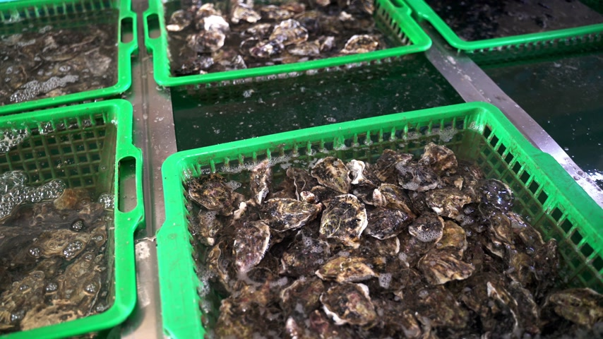 měkkýšů : Closeup of the fresh oysters in the boxes at the oyster farm. Seafood restaurant. Fresh and tasty oysters.