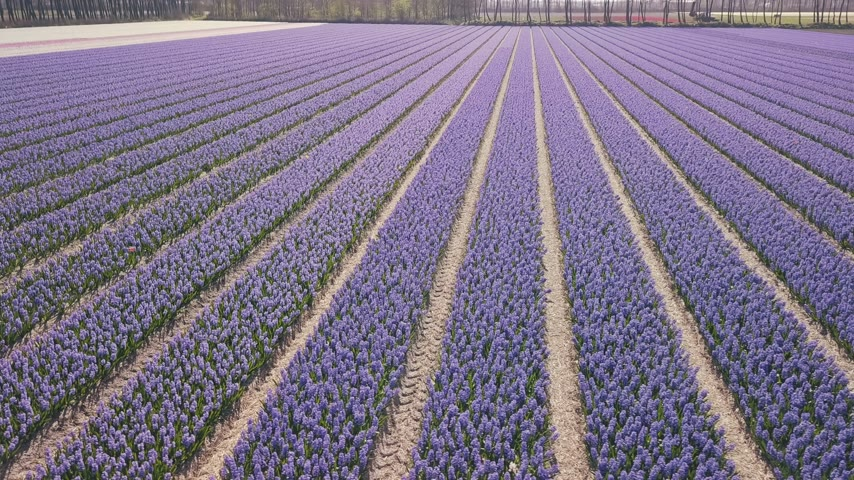 sümbül : purple hyacinth field in netherlnds. drone fly