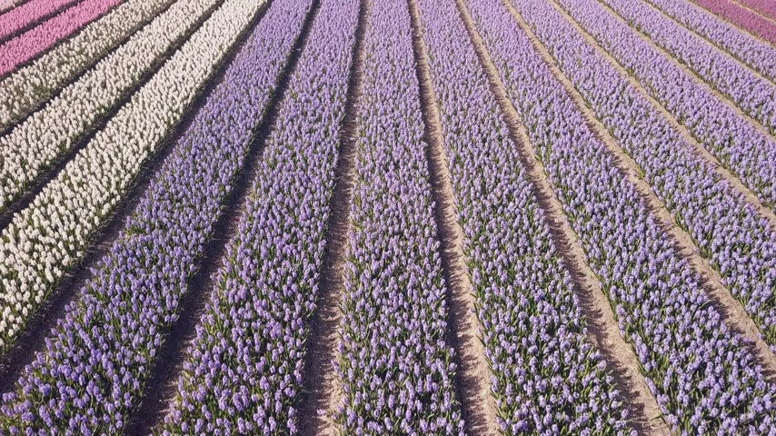 jacinto : purple hyacinth field in netherlnds. drone fly