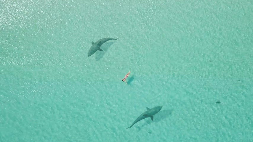 swimmer surrounded from two sharks. drone view. zoom out