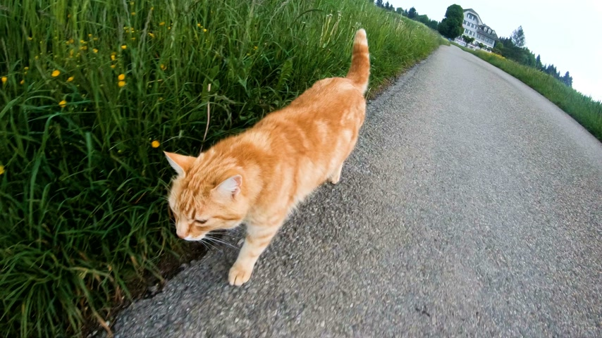 kot i pies : Cats are walking the streets around the village in the spring.Switzerland