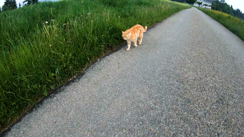 britânico : Cats are walking the streets around the village in the spring.Switzerland