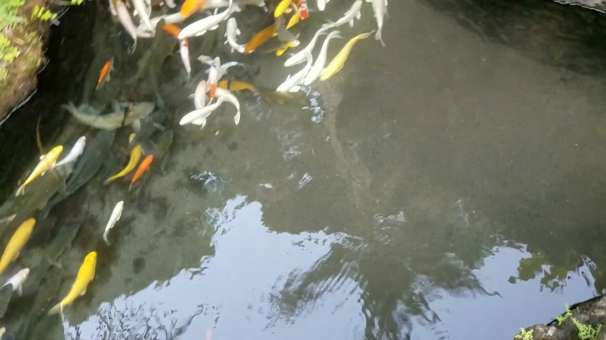 kapr : Bank of exotic Koi fish swimming in an ornamental pond.