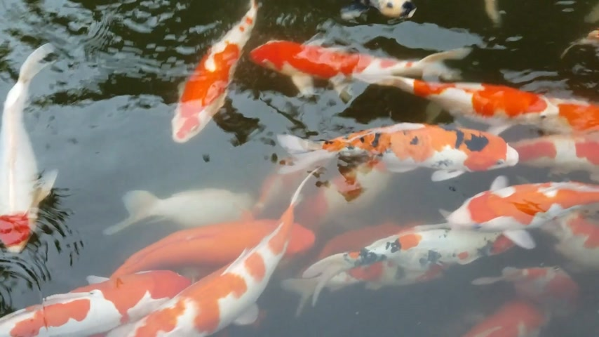 рыболовство : Bank of exotic Koi fish swimming in an ornamental pond.