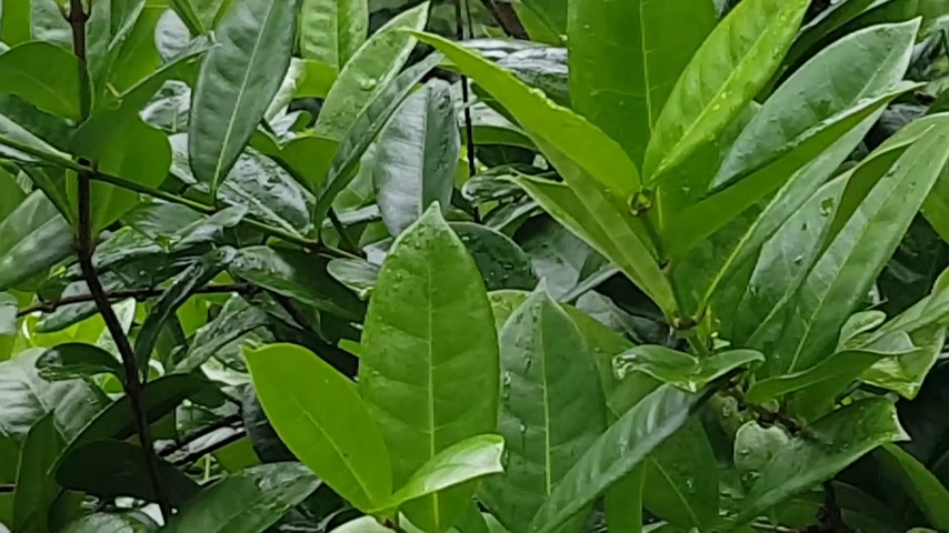 bezmotorové létání : Following a black and white striped butterfly fly around bright orange flowers in a tropical forest.