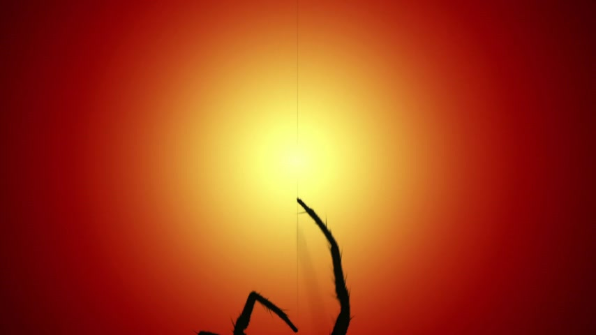 ловушка : One big venomous spider climbing up a thread of its web. Spider silhouette at sunset.