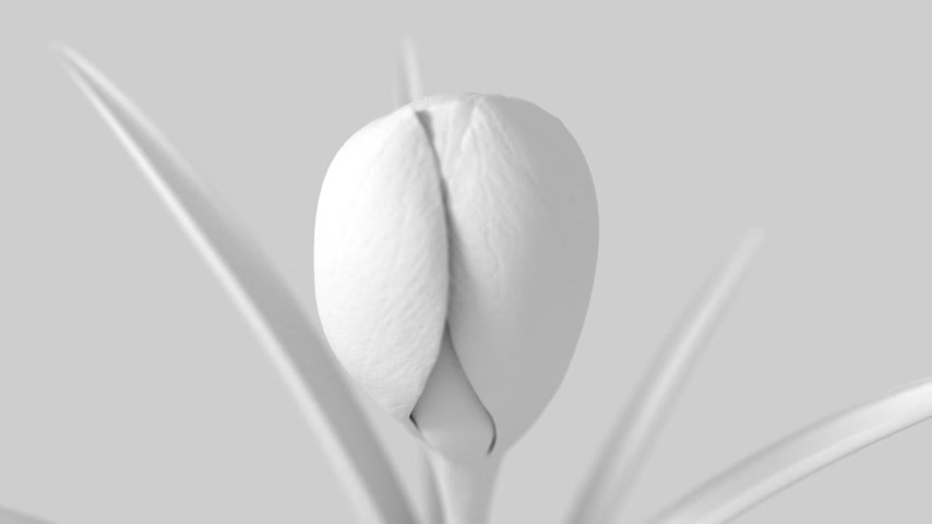 estame : White Crocus Flower Blooming On White Background. 3D Animation. Stock Footage