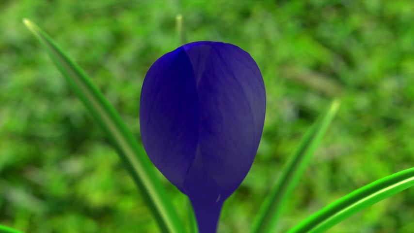 estame : Blue Crocus Flower Blooming. 3D Animation. Stock Footage