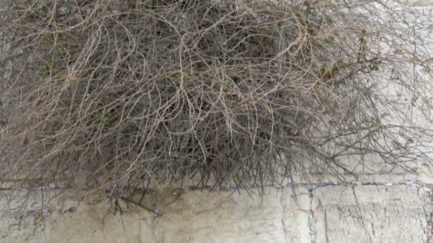wailing wall : Man praying in the Western Wall.  Jerusalem. Israel