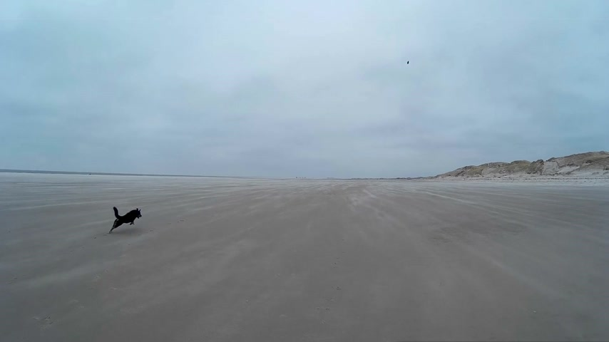 schleswig : Dog playing on the Beach of Amrum in Germany