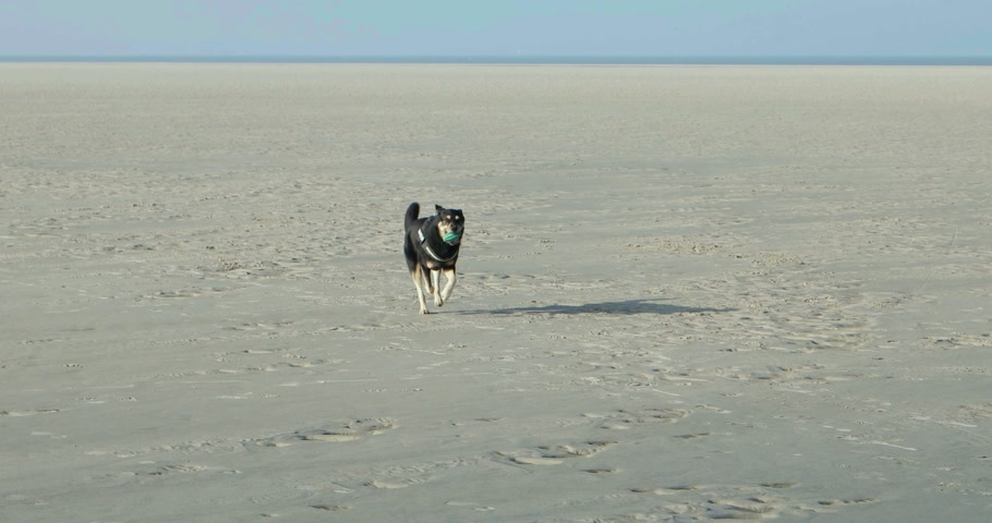 schleswig : Dog playing on a North Sea beach in Germany