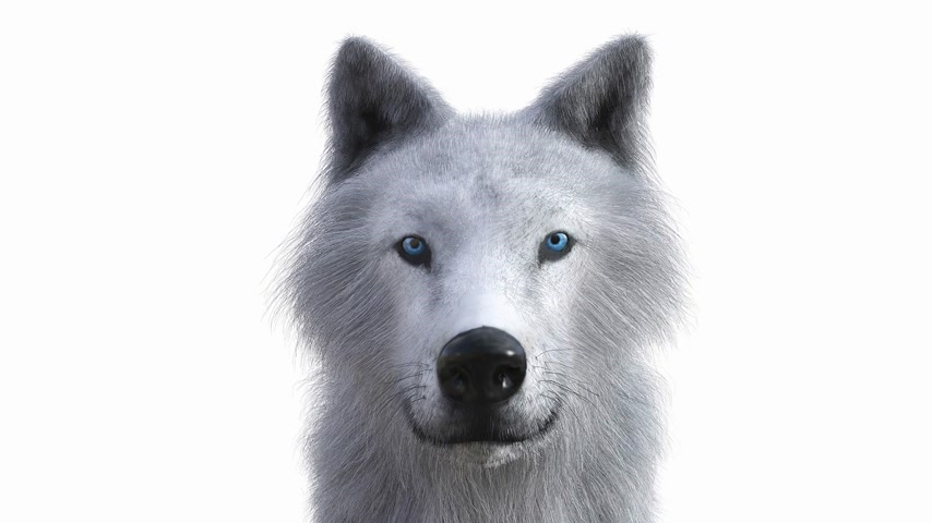 lobo : Digital 3D Animation of a Wolf Stock Footage