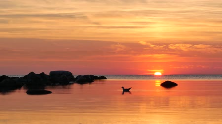 sea bird : Sun setting in the sea. Near visby, Gotland, Sweden.