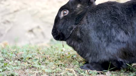A black Flemish Giant rabbit is eating in a garden. The Flemish Giant rabbit is a very large breed of domestic rabbit is considered to be the largest breed of the species.