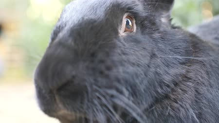 Portrait of a black Flemish Giant rabbit. The Flemish Giant rabbit is a very large breed of domestic rabbit is considered to be the largest breed of the species. Стоковые видеозаписи