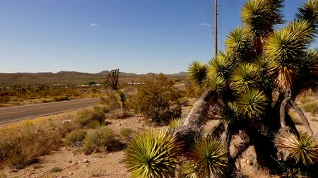 kaktusz : Amazing vegetation like joshua trees in the canyonlands in 4k.
