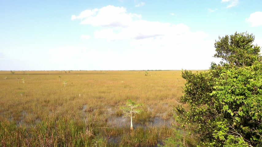 krokodil : Amazing landscape in the Everglades of South Florida Stock mozgókép
