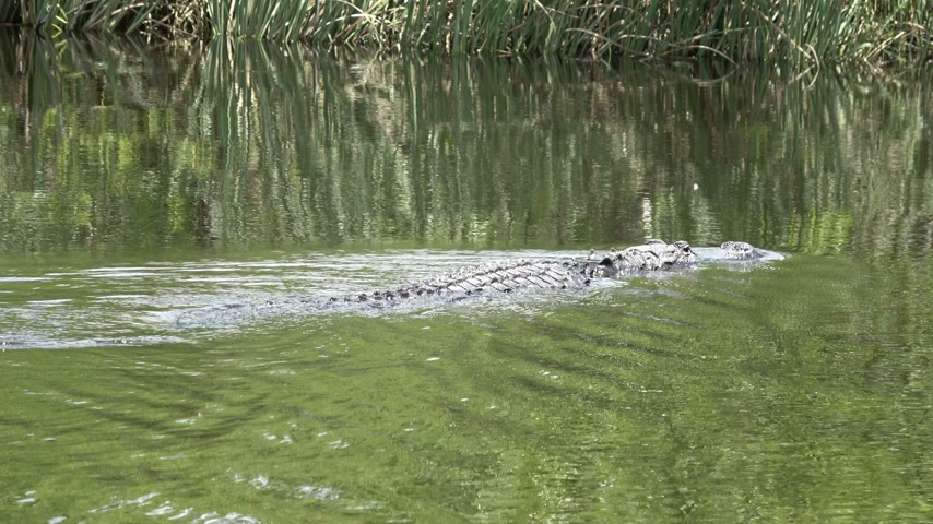 frisson : natation Alligator à travers les Everglades