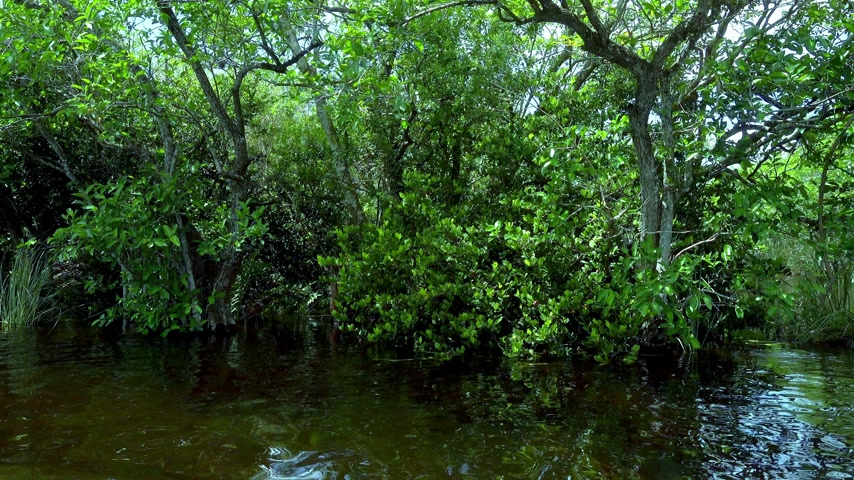 frisson : Green nature dans les Everglades de la Floride