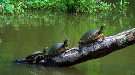 pântano : Turtles in the swamps of Louisiana