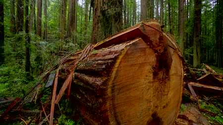 кедр : The Giant red Cedar trees at Redwoods National Park