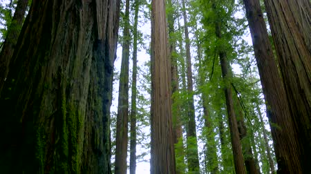 кедр : Giant red cedar trees in the Avenue of the Giants - Redwood National Park