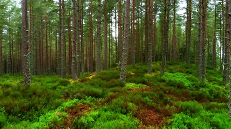 lakes of scotland : Smooth flight through a fir forest in Scotland Stock Footage