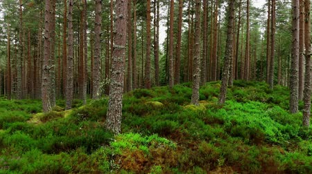 bretanha : Smooth walk through a fir forest in Scotland - pure nature
