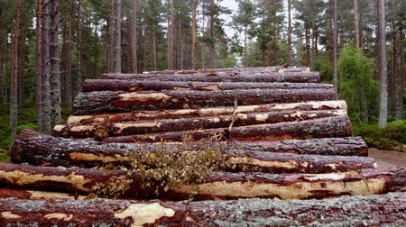 ecosse : Deforestation - cutting down fir trees in the woods Vidéos Libres De Droits