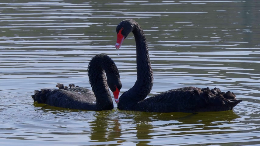zwarte zwaan : The famous Black Swans at Leeds Castle in UNITED KINGDOM - KENT, UNITED KINGDOM - FEBRUARY 20, 2019