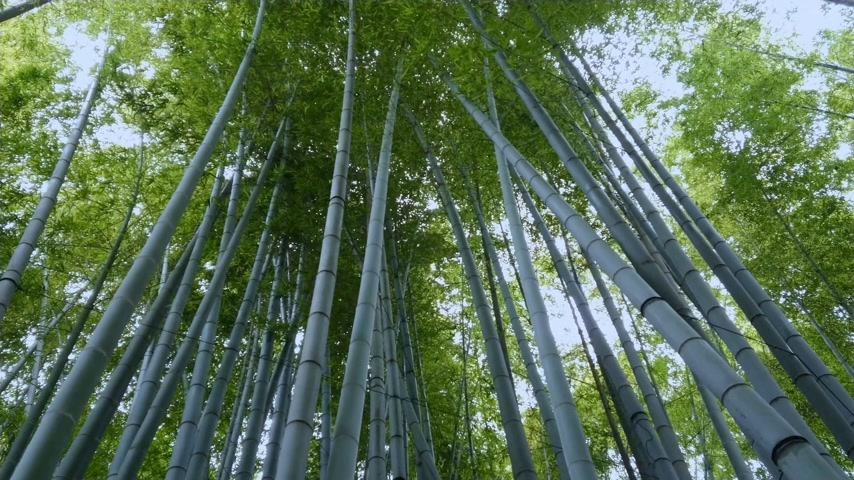 grande angular : Amazing wide angle view of the Bamboo Forest in Kamakura Stock Footage