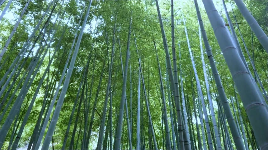 lugar famoso : Bamboo Forest in Japan - a wonderful place for recreation Vídeos