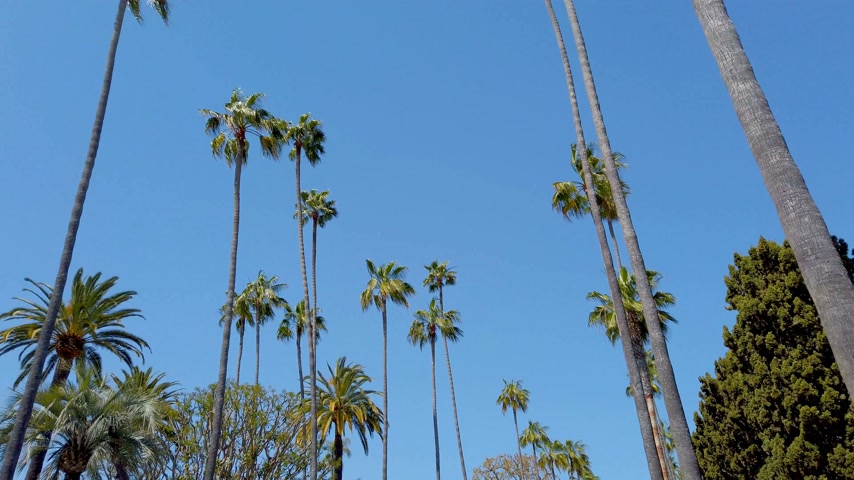 бульвар : Driving through Beverly Hills with its palm trees - travel photography